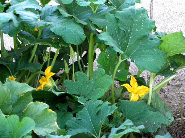 5 weeks after transplant, the squash has started to bloom.