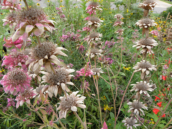 Horsemint Faded to Brown