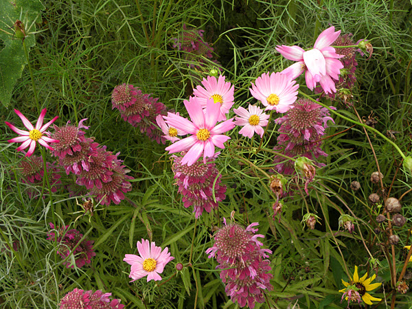 Cosmos and Horsemint