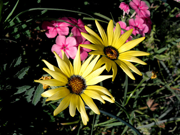 African Daisies and Annual Phlox