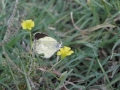 Butterfly on Yellow Wood Sorrel
