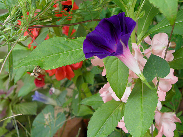 Morning Glory and Balsam Impatiens