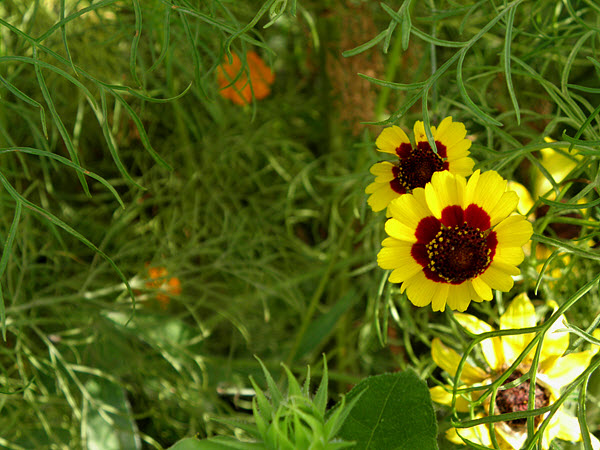 Plains Coreopsis, Row 6